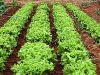 44 Alfaces da horta / Our lettuces