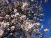 42a Amendoeira em flor