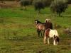 49 Cavalos nos nossos terrenos / Horses on our fallow plots