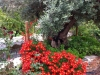 34 Oliveira com canteiro / Olive tree with flowers