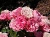 33 Rosas / Roses