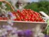 43a Tomate Cereja da nossa horta
